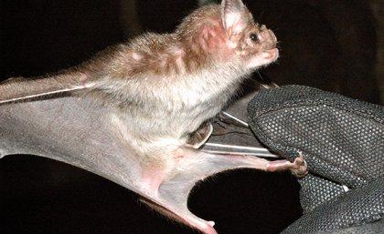 Vampire bat venom holds key to new treatments
