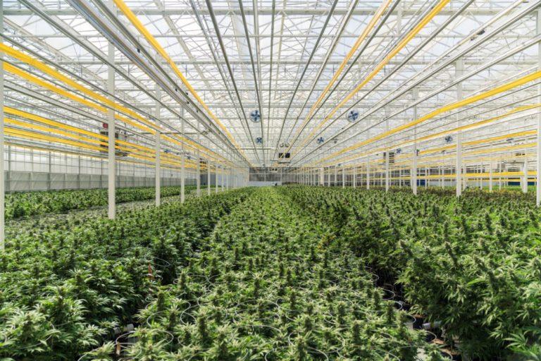 Australian medicinal cannabis launching in UK